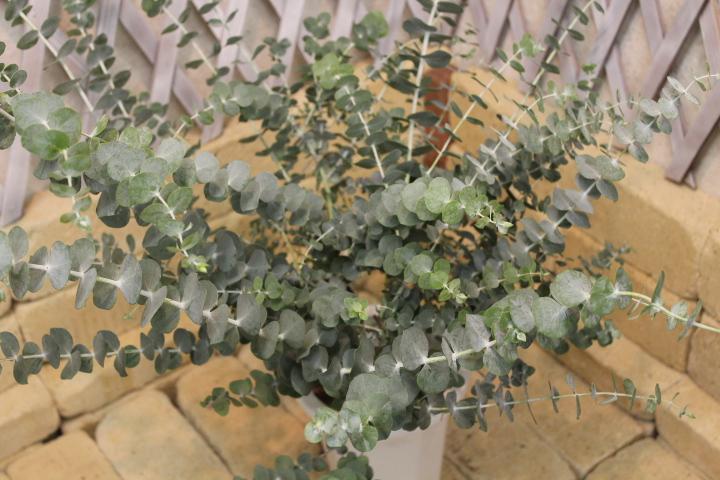 観葉植物 種類/ユーカリ ベイビーブルー 高さ約100cm ...